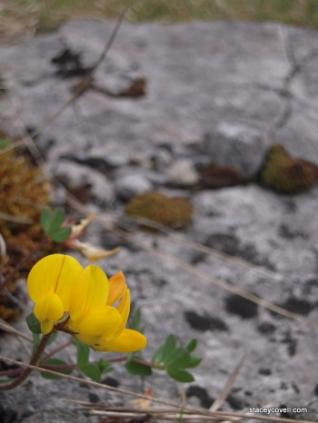The Burren Flower - Micro